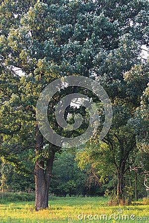 Eichen-Savanne in Illinois