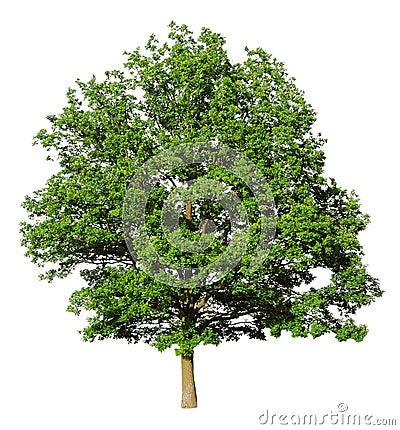 Eichenbaum