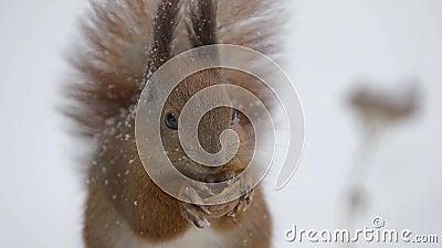 Eichhörnchen, das eine Nuss im Winter isst stock video