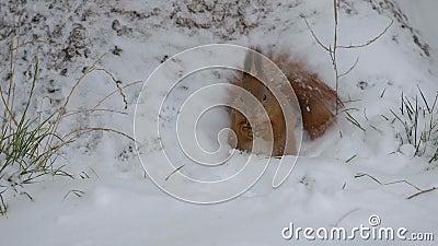 Eichhörnchen, das Nüsse im Schnee isst stock footage