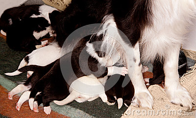 Eight border collie puppies