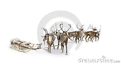 Eight reindeers