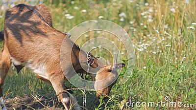 Ein Braun und eine schwarze weibliche Ziege, die glücklich seine Ohren beim hungrig abnagen und grünes Gras essen zucken stock video footage