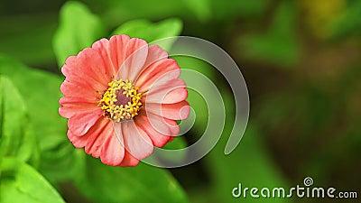 Ein einziger rosafarbener Zinnia-Blumenstrauß Bokeh Hintergrund stock footage