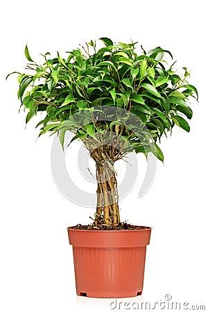 Ein Ficus Benjamin in einem braunen Potenziometer