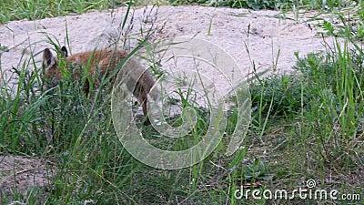Ein Fuchswelpe am Fuchsgeb?ude stock footage