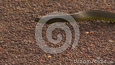 Ein gwardar Schlangenzurückdrängen stock video