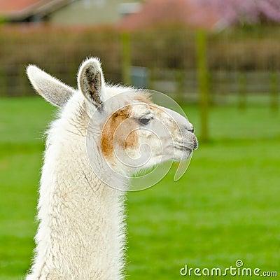 Ein Lama.