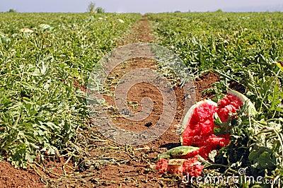 Ein Pfad durch das Feld einer Wassermelone