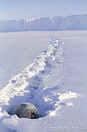 Ein Sonnenbad nehmende Weddell Robbe