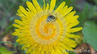 Eine Biene sammelt Bl?tenstaub auf einem L?wenzahn stock video footage