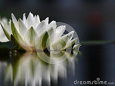 Eine einzelne Lilie des weißen Wassers mit Reflexion