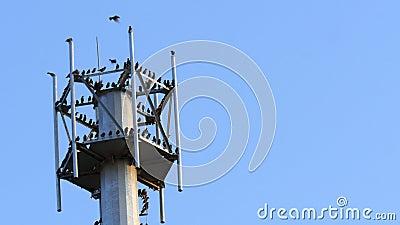 Eine Gruppe schwarzer Krähe am Pol stock footage
