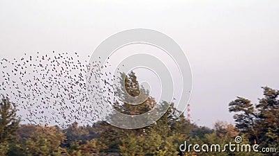 Eine Menge des Vogelflatterns obenliegend Spontane Bewegung einer großen Masse der Vögel stock video footage