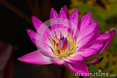 Rosa Wasserlilie