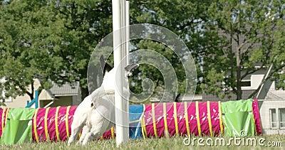 Eine weiße Hundeshow seine Beweglichkeit auf einer Hundeshow 4K FS700 Odyssee 7Q stock video