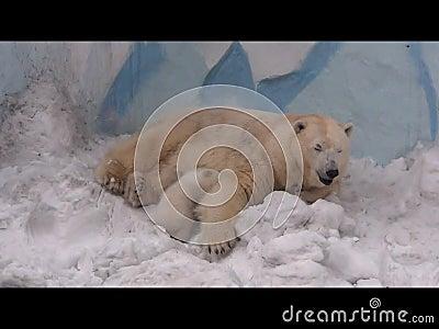 Eisbär stillt ihr Junges stock video