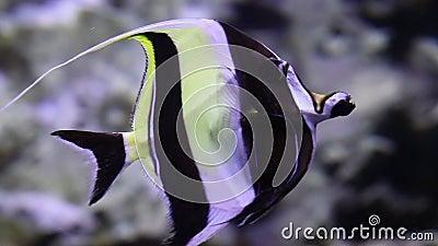 El ídolo morisco está nadando en el océano con efecto boquilla y fondo borroso con flora y fauna subacuáticas Vista lateral almacen de video