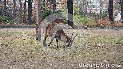 El antílope come la hierba en Berlin Zoom, cantidad 4k metrajes