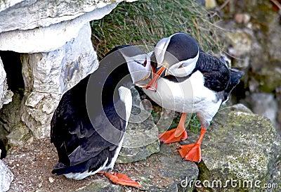 El besarse de dos pájaros del frailecillo