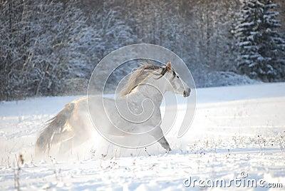 Mis amores los caballos - Página 2 El-caballo-andaluz-gris-galopa-a-trav-eacutes-la-nieve-thumb12444890