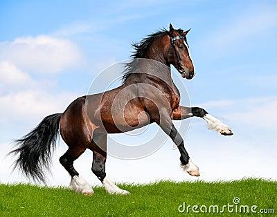 El caballo de bahía galopa en campo