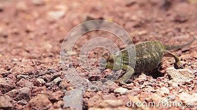 El camaleón intenta pasar inadvertido a través del camino almacen de metraje de vídeo
