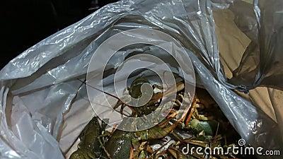 El cangrejo de río vivo se mueve en una bolsa de plástico Cangrejo de río almacen de video