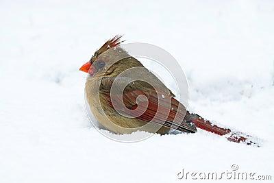 El cardenal de sexo femenino se sienta en una desviación de la nieve