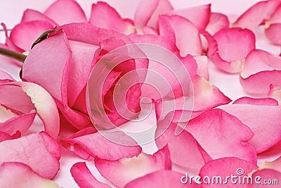 El color de rosa romántico se levantó