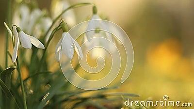 El descenso de la nieve florece en luz caliente del sol de la mañana