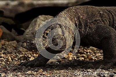 El dragón de Komodo recorre en la salida del sol