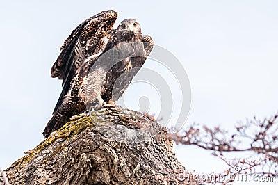 El estar al acecho del halcón
