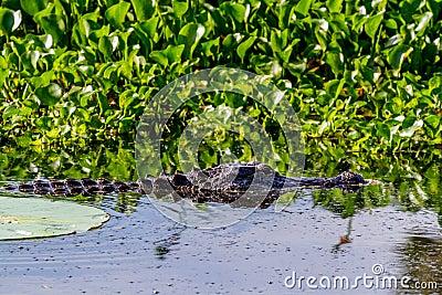 El estar al acecho salvaje del cocodrilo