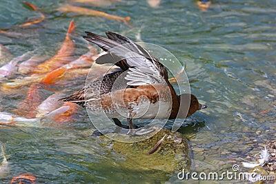El estirar del pato