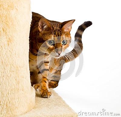 El gatito de Bengala se arrastra esquina redonda