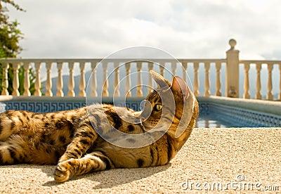 El gato perezoso de Bengala miente comfortablemente cerca de la piscina