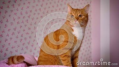El gato rojo juguetón lindo se está sentando en cama rosada en casa y está mirando relajado el sitio, animal casero lindo satisfe almacen de metraje de vídeo