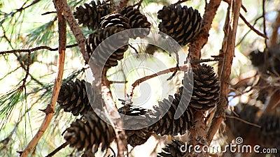 El gran cono de abeto en una rama almacen de metraje de vídeo