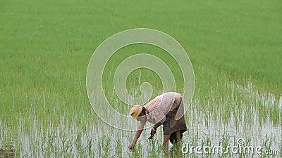 El granjero es una mujer lleva un sombrero que sostiene el arroz plantado en campo de arroz con los humedales en el parque de Ban metrajes
