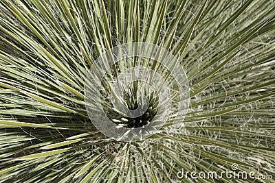 El interior de una planta de la yuca foto de archivo for Yuca de interior