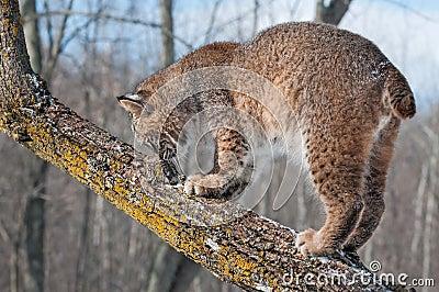 El lince (rufus del lince) huele en la rama de árbol