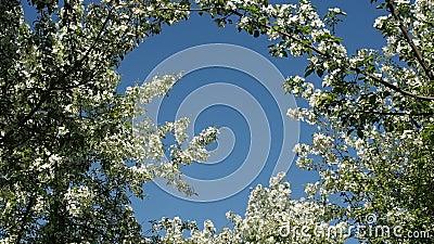 El manzano ramifica por completo de flores florecientes almacen de metraje de vídeo