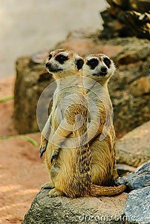 El meerkat de la naturaleza