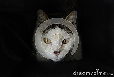 El mirar fijamente blanco del gato
