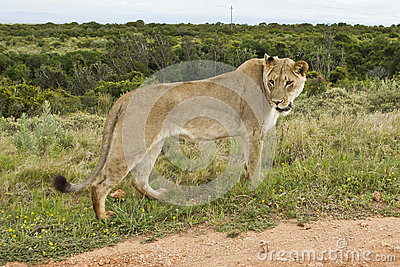 El mirar fijamente de la leona