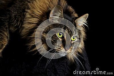 El mirar fijamente del gato