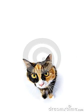 El mirar fijamente del gato de la concha