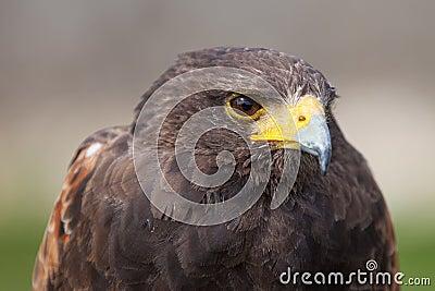 El mirar fijamente del halcón de Harris