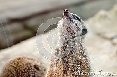 El mirar fijamente del meerkat